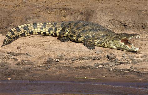 coccodrillo del nilo botswana fotografia stock immagine  africa corsa