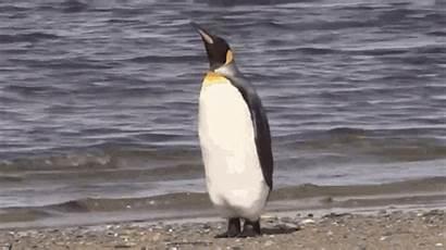 Penguin Walk Away Disappear Tenor