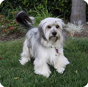 JAXON | Adopted Dog | Newport Beach, CA | Havanese/Terrier ...