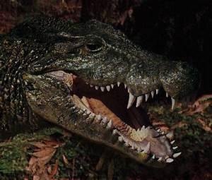 New Specimens of Extinct Crocodylian Baru Described
