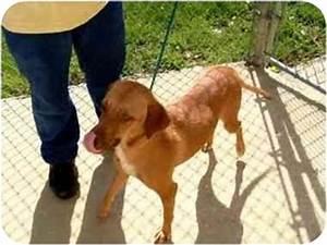 Mona | Adopted Dog | Baltimore, MD | Italian Greyhound ...