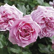 Flower Rose Bush Roots