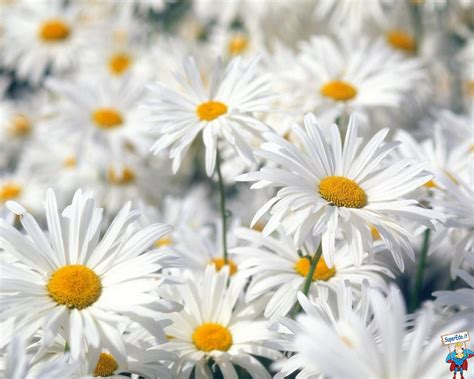 margherite fiori immagini margherite 25 immagini in alta definizione hd
