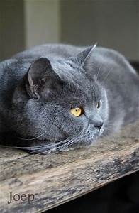 1000+ images about British Shorthair on Pinterest ...