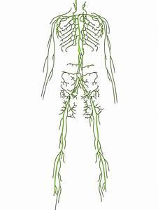 The Lymphatic System  U2014 Lymphatic Healing At Hawkwood Bodyworks