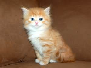 cats and kittens siberian cats quot charodey quot cattery the cattery of