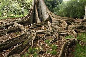 Giant Fig Tree Roots, 3 of 3 | View on Black and LARGER. I ...