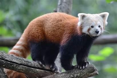 Panda Wallpapers Photoshoot Multiple Mobile Screen