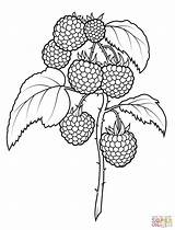 Coloring Raspberries Pages Printable Fruit Fruits Supercoloring Drawing Berries Raspberry Super Pattern Sheets Hand Dot sketch template