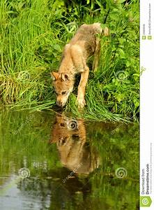 Wolf, Pup, Drinking, Water, With, Reflections, Stock, Photo