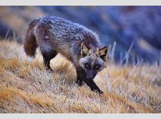 The Rare Beauty Of Black Foxes 15+ Pics Bored Panda
