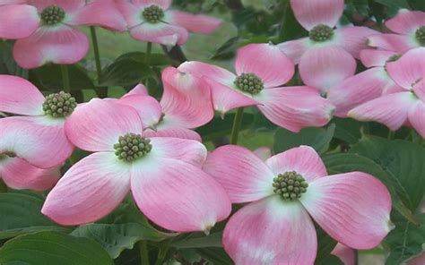 buy stellar pink dogwood  sale   wilson bros