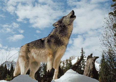 National Geographic Animals Wolf