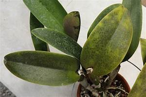 Images Of Leaf Spots On Orchids