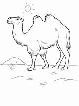 Camel Coloring Pages Animal Printable Animals Recommended sketch template