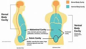 Body Cavities And Membranes  U2013 Anatomy And Physiology Notes