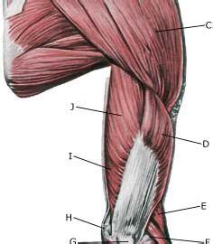 The trapezius is large and flat and is the most superficial muscle of the upper back. Rupture of the muscle on the back of the upper arm ...