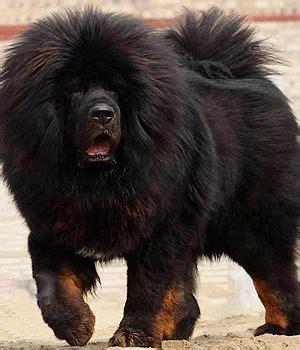 Rare Dog Breeds Tibetan Mastiff
