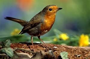 Vogel Mit Roter Brust : rote kehle foto bild tiere wildlife wild lebende v gel bilder auf fotocommunity ~ Eleganceandgraceweddings.com Haus und Dekorationen