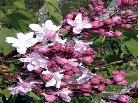 best shrubs for sun gardening landscaping shrubs for full sun decoration plant shrubs and bushes job full sun