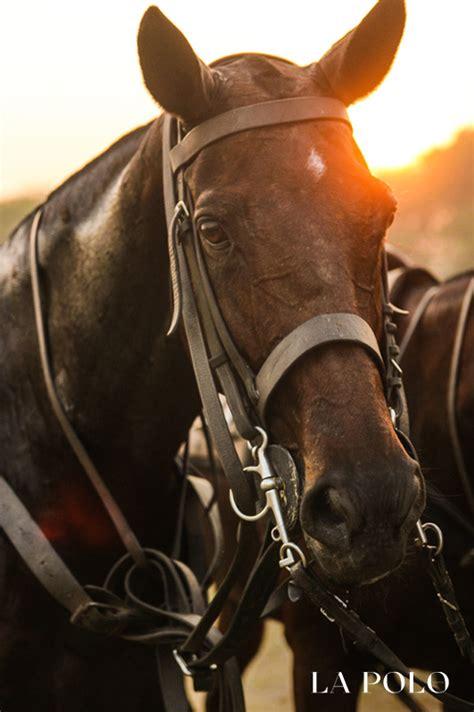 polo ponies pony lapolo mis treated