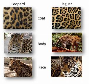 leopard vs jaguar vs panther vs cheetah - Google Search ...