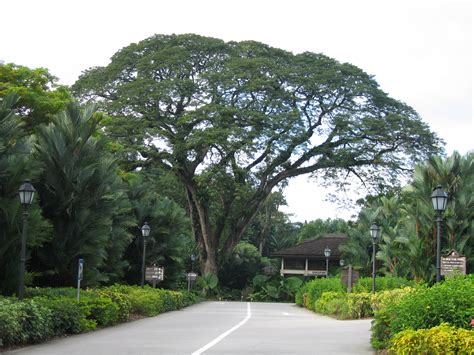 canap tress large canopy trees images