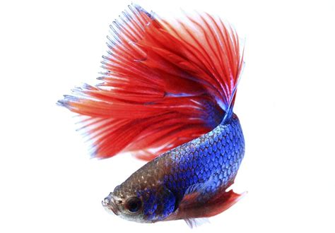 lifespan  betta fish