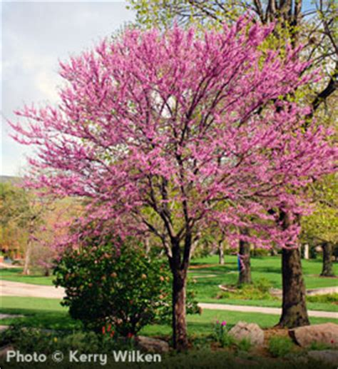 eastern rosebud tree the tree guide at arborday org