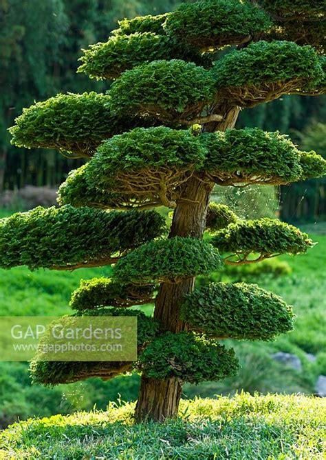 gap gardens  cloud pruned conifer  japanese garden