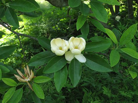 Sweetbay Nursery by File Sweetbay Magnolia Magnolia Virginiana Flowers 2816px