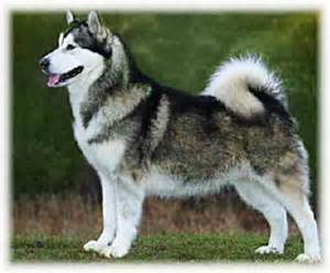 breeds alaskan breeds large breeds that don t shed breeds picture