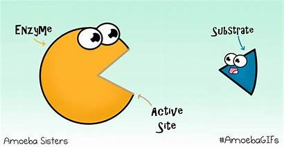 Enzyme Amoeba Sisters Active Science Enzymes Biology