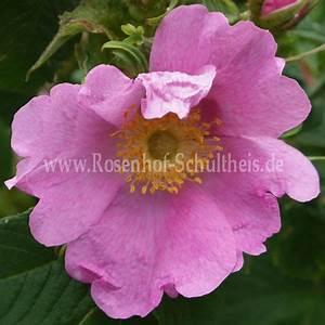 Wilde Triebe Rosen : rosa persetosa rosen online kaufen im rosenhof ~ Lizthompson.info Haus und Dekorationen