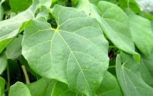 Pflanze Mit S : guduchi pflanze tinospora cordifolia ayurvedische heilkr uter heilkr uter nach ~ Orissabook.com Haus und Dekorationen