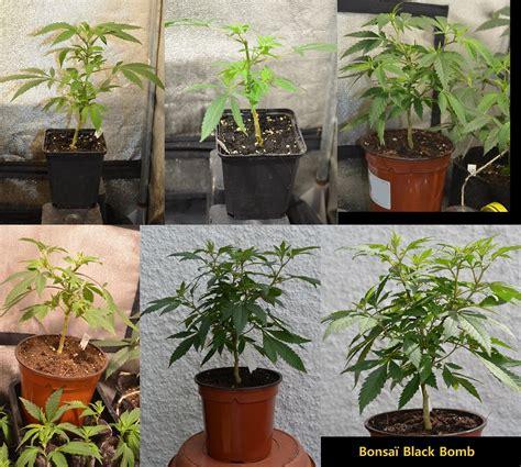 comment transformer ses plantes de cannabis en bonsa 239 s