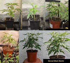 Pied De Beuh : comment transformer ses plantes de cannabis en bonsa s blog du growshop alchimia ~ Medecine-chirurgie-esthetiques.com Avis de Voitures