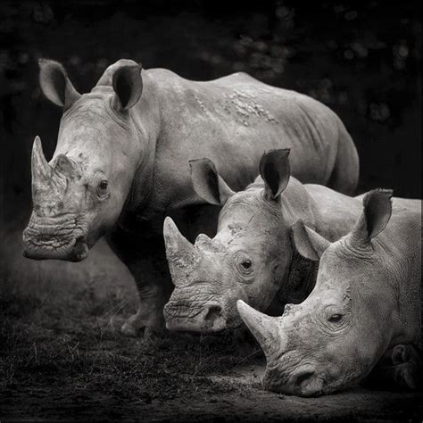 ideas  rhinos  pinterest baby rhino