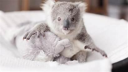 Koala Adorable