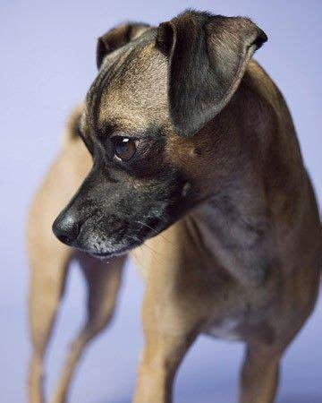 7 x 9 rug top 10 des plus beaux et étonnants chiens croisés carlin