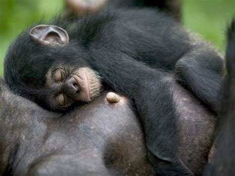 Chimpanzees Are Extremely Picky About Where They Sleep