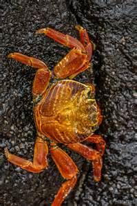 Sally Lightfoot Crab Galapagos