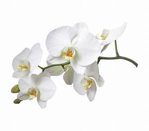 White Orchid Flower Wall Art - Peel N Stick College Wall