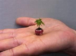 world 39 s smallest tree species information hub of besties