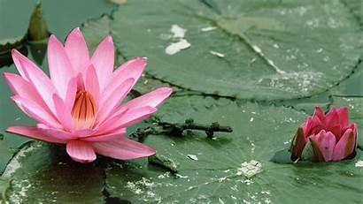 Lotus Flower Wallpapers Desktop Flowers Px Wallpaperboat