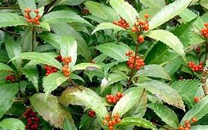 Pflanze Mit Fleischigen Blättern : sarcandra pflanze ein immergr ner strauch mit ledrigen bl ttern nach den gelbgr nen bl ten ~ Buech-reservation.com Haus und Dekorationen