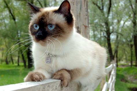 Remarkably Stunning Facts About Siamese Cats