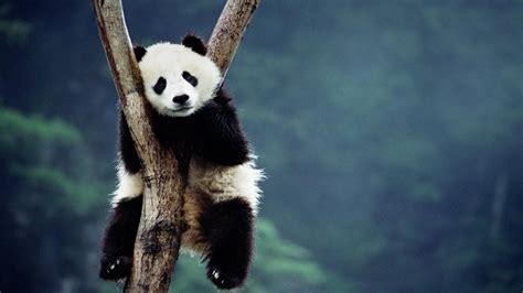 endangered species pandas cyber srbin blog