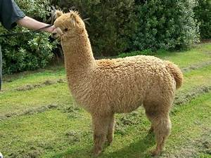 The gallery for --> Fluffy Baby Llama