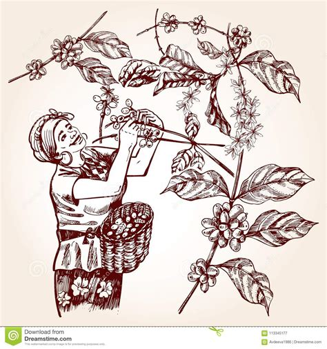 Find more coffee vector images graphics at getdrawings.com. Coffee Harvesting. Vintage Vector Illustration Stock Vector - Illustration of girl, grain: 113345177
